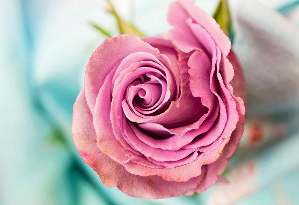 rose-3142529_960_720