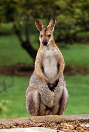 wallaby-2389791_960_720